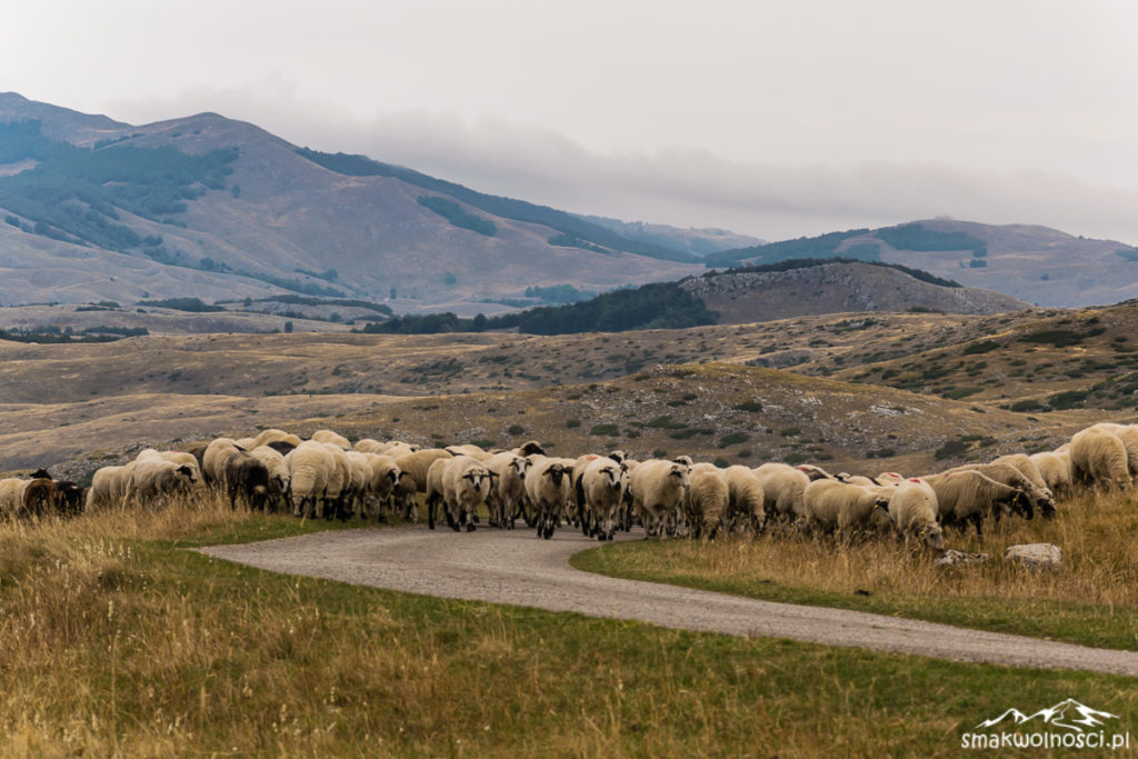 owce w durmitorze